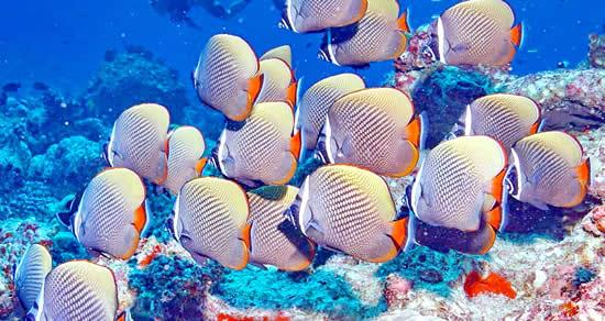 Collared Butterflyfish