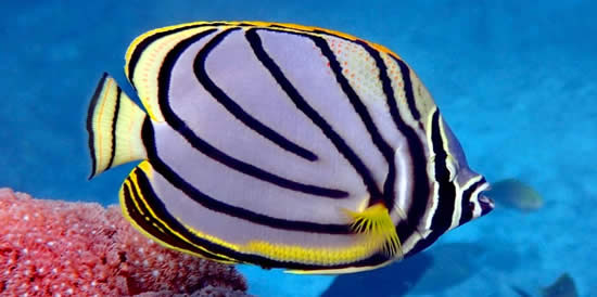 Meyers Butterflyfish