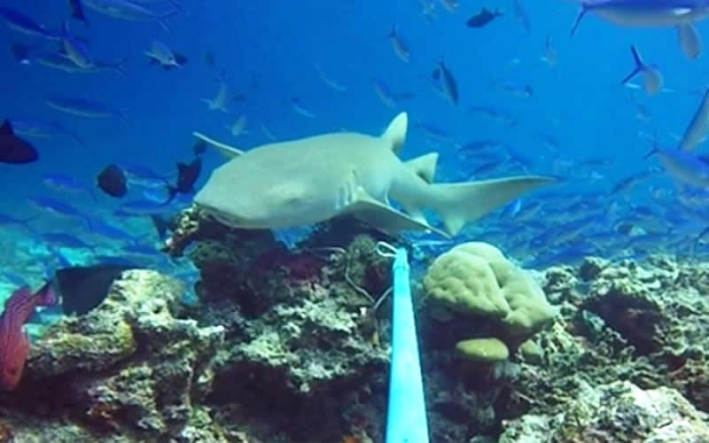 Проект по сохранению акул Angsana Velavaru зафиксировал более 350 акул