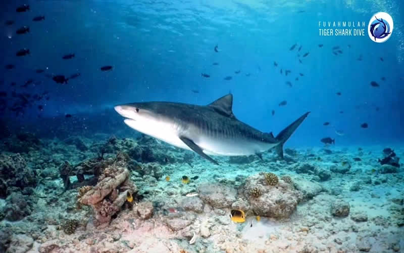 Fuvahmulah Named Best Places to Dive With Sharks in Asia