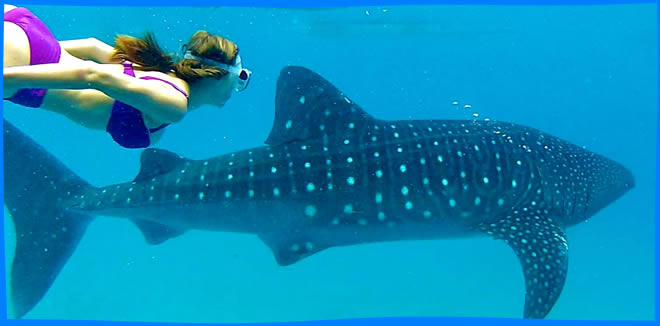 Dhigurah dive with whale shark tour