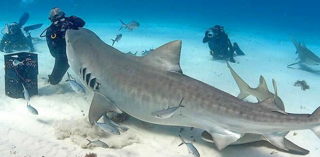 Tiger Sharks Diving