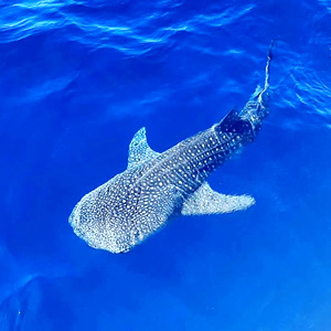 best north male atoll snorkeling whale shark