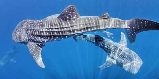 Best Spots for swimming with Whale sharks and Mantas Watch
